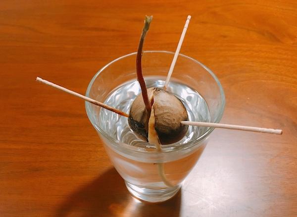 アボカドの水耕栽培の成長記録