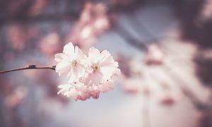 春の時期の贈り物ににおすすめの桜のお菓子のギフトセット6選